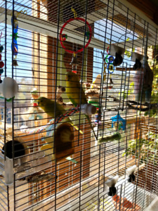 2 Budgies with Large Vision Cage and Supplies