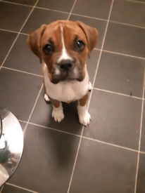 Boxer pup male