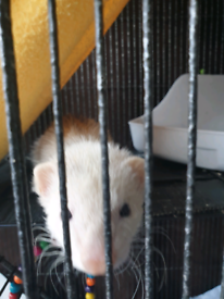 Female silver ferret 6 month old