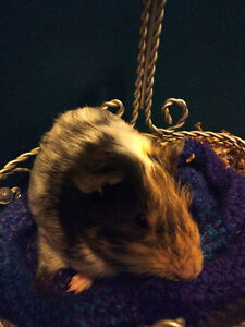 12 week old Male Guinea pig / Male greyish blue Rex Rat for sale