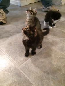 Very Cute Himalayai/Persian Mix Kittens