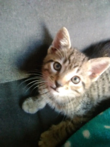 Free kitten to approve home only