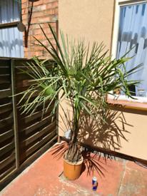 Palm Tree,Cordyline,Olive Tree,Trachycarpus Fortunei