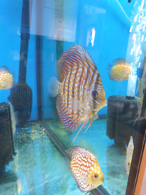 Discus fish medium size 3-4 inch