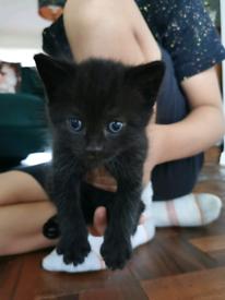 Gorgeous black kitten - last left in litter!