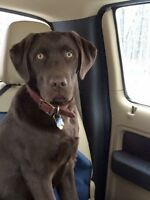 Missing Chocolate Lab
