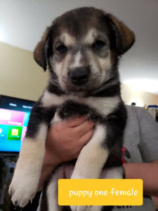 Puppies For Sale | Adopt Dogs & Puppies Locally in Saskatchewan