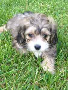 Beautiful Shorkie puppies for sale!