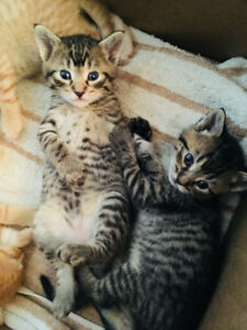 Two Adorable Kittens for Sale!