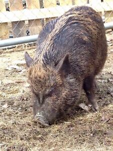 2 year old Mini Pig Available