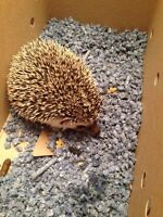 Hedge hog for sale