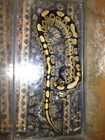 Friendly ball python for sale