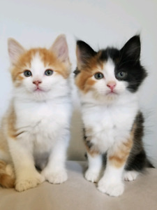 Polydactyl Maine Coon Kittens!