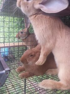 Flemish Giant Cross New Zealand Rabbits for Sale