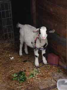 Purebred female miniature miatonice fainting goat