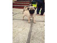 Beautiful K.C Pug pup