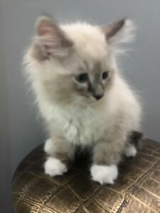 3 Beautiful Ragdoll Kittens left!