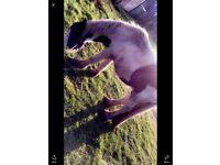 Male pony