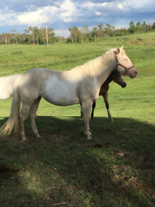 Cremello Paint Mare