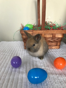 Tiny Male Holland Lop Bunny