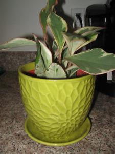 Jelly plant