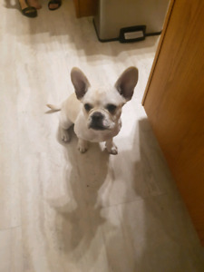 Male 3/4 frenchy and 1/4 pug