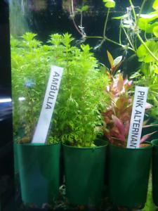 Aquarium Plants 5 pots for $20
