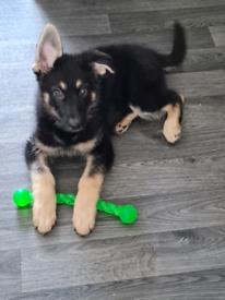 16 week old male German shepherd puppy