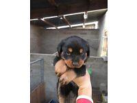 Rottweiler pups forsale