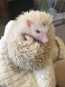 Male hedgehog for sale!-PENDING SALE