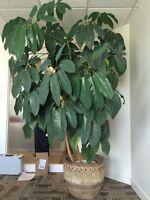 Grande et grosse plante d'intérieur