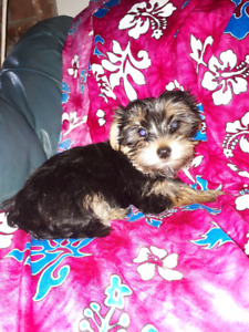 MORKIES....Black and tan ***ONLY 3 LEFT***