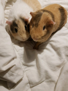 Still available 2 Male guinea pigs