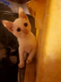 Siamese kittens 350