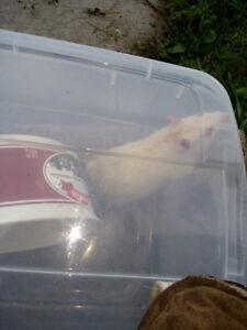 Pet Rat FOUND