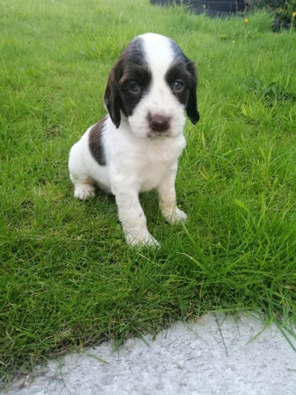 Springer spaniel pups | in Newry, County Down | Gumtree