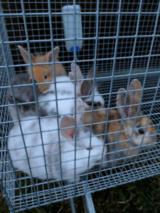 Purebred Angora rabbits for sale and others