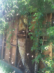 BEES! Bee swarm removal and Bee nest extraction - London London Ontario image 7