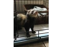 MALE FERRET FREE TO A GOOD HOME