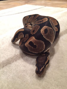 Snake Tank and 2 yr Male Ball-Python - Looking for new home