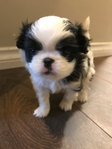 * Rare* Purebred Japanese Chin puppy(Girl)- HOLD