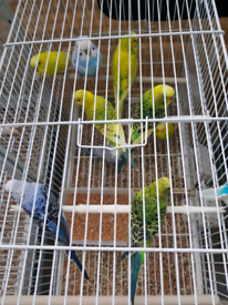 Budgies & Canaries for sale