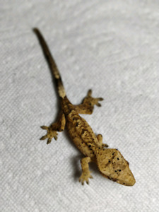 Dalmation Crested Gecko Babies