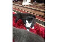 Kittens for sale ( mum Russian blue)