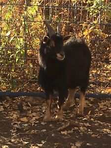 2 male Pygmy/Nigerian cross goats