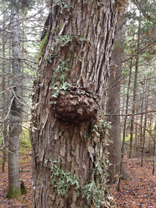 Woodlot with Old Growth to be cut, south, NB