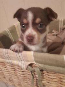 ****TINY TOY CHIHUAHUA x PUPPIES*****