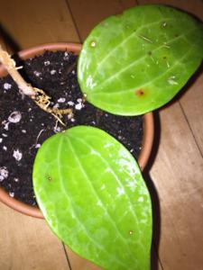 Hoya Macrophylla, Pink Flowers, Big Leaves, Rooted Plant