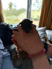 Yorkiepoo/chihuahua