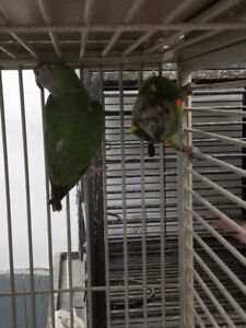 PROVEN PAIR OF SENEGAL PARROTS & A SINGLE FEMALE